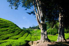 Cameron Highland Tea Plantation Royalty Free Stock Images