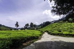 Cameron Highland tea plantation at sunny day.cloudy sky Stock Photo