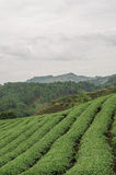 Cameron Highlands Stockfoto