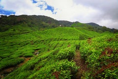Cameron Highlands Image stock