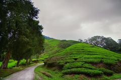 Cameron Highlands Images libres de droits