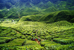 Cameron Highlands Stockfotografie