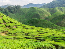 Cameron Highlands Arkivbild