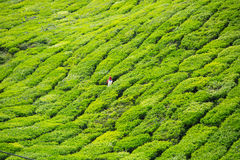 Cameron Highlands images stock