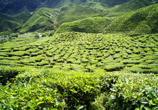 Cameron Highlands Arkivfoto