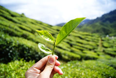 Cameron Highlands Stockbild