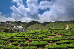 Cameron Highlands Stock Foto