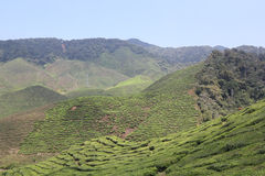 Cameron Highlands. Bharat Tea plantation, Cameron Highlands Stock Image