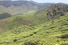 Cameron Highlands. Bharat Tea Plantation in Malaysia Royalty Free Stock Photos