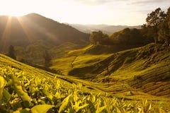 Cameron Highlands Malaysia. Arkivfoton