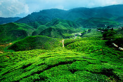 Cameron Highlands, Malaysia. Cameron Highlands, Tea plantations in Malaysia royalty free stock images