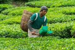 Cameron Highlands, Pahang Malaysia - CIRCA June 2016: Male Worker Picking Tea Leaves at Tea Plantation stock photo
