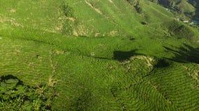 Cameron Highlands, plantação de chá de Boh perto de Tanah Rata, Malásia foto de stock