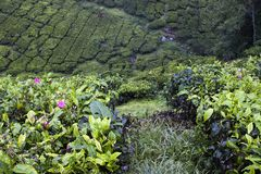Cameron Highlands Tea Plantation Fields Royalty-vrije Stock Afbeeldingen