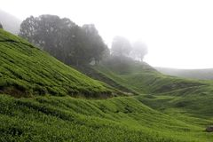 Cameron Highlands Tea Plantation Fields stock fotografie