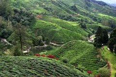 Cameron Highlands Tea Plantation Fields Stock Image