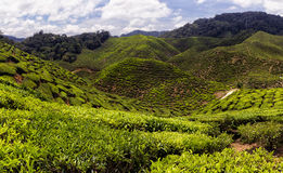 Cameron Highlands Tea Plantation II Stock Images