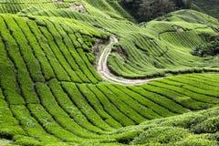 Cameron Highlands Tea Plantation Royalty Free Stock Photography