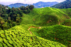 Cameron Highlands Stock Images