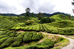 Cameron Highlands Royalty Free Stock Images