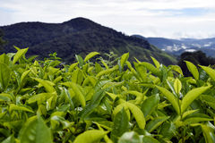 Cameron Highlands Tea Plantation Malaysia Photos stock