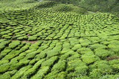 Cameron Highlands Tea Plantation Malaysia Photo libre de droits