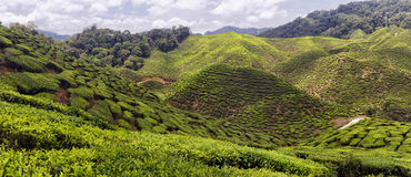 Cameron Highlands Tea Plantation Panorama Royalty Free Stock Images