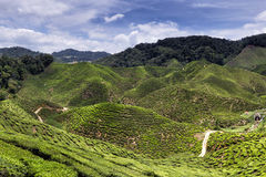 Cameron Highlands Tea Plantation Panorama Stock Photography
