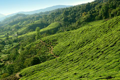 Cameron Highlands tea plantation Royalty Free Stock Photography