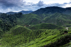 Cameron Highlands Tea Plantation Royalty Free Stock Photo