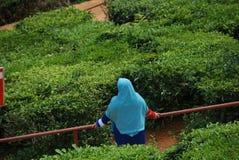 Cameron Highlands Tea Plantations Malaysia arkivbild