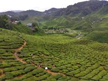 Cameron Highlands Tea Valley Fotografia Stock Libera da Diritti