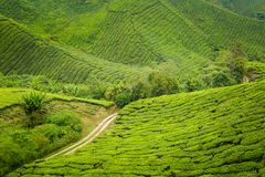 Cameron średniogórzy Boh herbaciana plantacja Fotografia Stock
