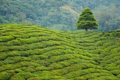 Cameron średniogórzy Boh herbaciana plantacja Zdjęcie Stock