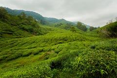 Cameron średniogórzy Boh herbaciana plantacja Zdjęcia Stock