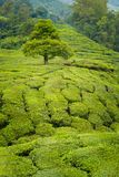 Cameron średniogórzy Boh herbaciana plantacja Fotografia Royalty Free