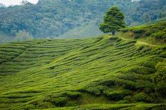 Cameron średniogórzy Boh herbaciana plantacja Obraz Royalty Free