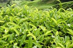 Cameron średniogórzy Herbaciana plantacja Malezja Fotografia Royalty Free