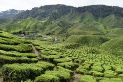 Cameron średniogórzy Herbaciana plantacja Malezja Zdjęcia Royalty Free