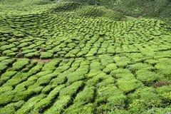 Cameron średniogórzy Herbaciana plantacja Malezja Zdjęcie Royalty Free