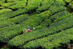 cameron średniogórzy plantaci herbata Obrazy Royalty Free