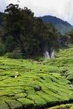 cameron średniogórzy plantaci herbata Zdjęcie Stock