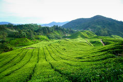 cameron średniogórzy plantaci herbata Obraz Royalty Free