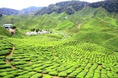 cameron rolna średniogórzy herbaty dolina Zdjęcia Royalty Free