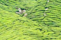 Cameron tea plantation Royalty Free Stock Photography