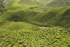 Cameron Tea Plantation Arkivbilder