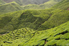 Cameron Tea Plantation Royaltyfria Bilder