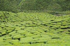 Cameron Tea Plantation Arkivfoton