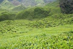 Cameron Tea Plantation Royaltyfri Fotografi