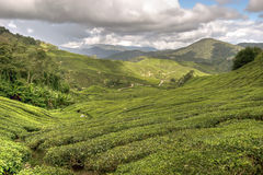 Cameron tea plantations Royalty Free Stock Images